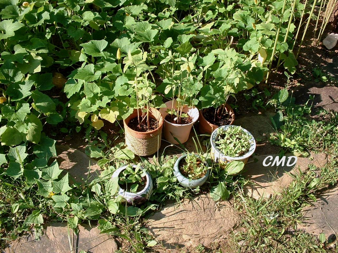 Farming Garden Organic Herbs pots planter fertilizer Basil Oregano Photograph by Colette Dowell for Economic Stimulus Recovery
