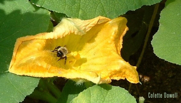 Honey Bee Squash Flower Organic Garden Heirloom Seeds Colette Dowell
